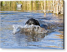 Black Labrador Retriever Acrylic Print by William H. Mullins