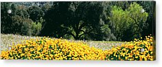 California Golden Poppies Eschscholzia Acrylic Print by Panoramic Images