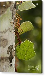 Leafcutter Ants Acrylic Print by William H. Mullins