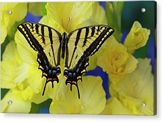 Two-tailed Swallowtail Butterfly Acrylic Print by Darrell Gulin