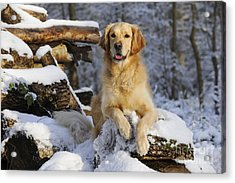 Golden Retriever In Snow Acrylic Print by John Daniels
