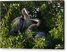 Great Blue Heron (ardea Herodias Acrylic Print by Larry Ditto