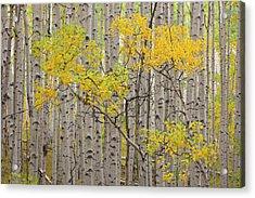 Usa, Colorado, White River National Acrylic Print by Jaynes Gallery