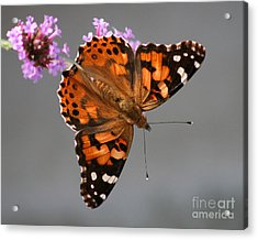 American Painted Lady Butterfly Acrylic Print by Karen Adams