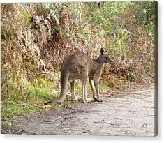 Kangaroo Acrylic Print by Girish J