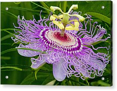 Passion Flower Acrylic Print by Geraldine Scull
