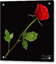 Rose Collection Acrylic Print by Marvin Blaine