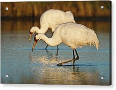 Whooping Crane (grus Americana Acrylic Print by Larry Ditto