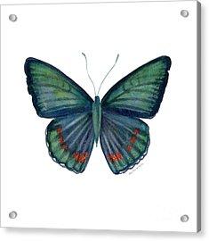 82 Bellona Butterfly Acrylic Print by Amy Kirkpatrick