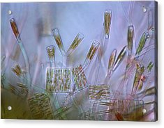Diatoms, Light Micrograph Acrylic Print by Science Photo Library