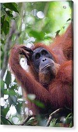 Sumatran Orangutan Acrylic Print by Scubazoo