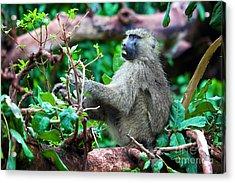 A Baboon In African Bush Acrylic Print by Michal Bednarek