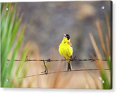 A Black Headed Bunting Acrylic Print by Ashley Cooper