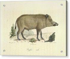 A Boar Acrylic Print by British Library