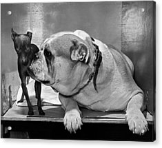A Bulldog And A Puppy Acrylic Print by Underwood Archives