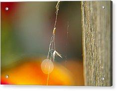 A Captured Dandelion Seed Acrylic Print by Jeff Swan