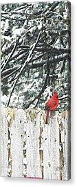 A Christmas Cardinal Acrylic Print by PainterArtist FIN