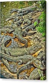 A Congregation Of Alligators Acrylic Print by Rona Schwarz
