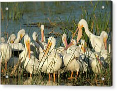 A Congregation Of White Pelicans Acrylic Print by Maresa Pryor