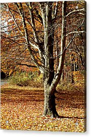 A Fall Tree In New England Acrylic Print by Mike McCool