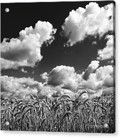 A Field Of Wheat . Limagne. Auvergne. France Acrylic Print by Bernard Jaubert