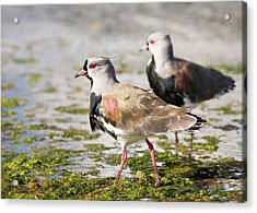 A Flock Of Southern Lapwings Acrylic Print by Ashley Cooper