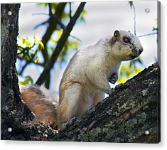 A Fox Squirrel Pauses Acrylic Print by Betsy C Knapp