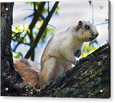 A Fox Squirrel Poses Acrylic Print by Betsy C Knapp