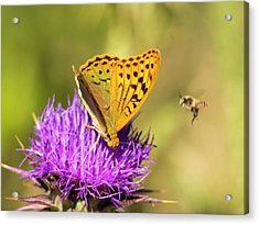 A Fritillary Butterfly Acrylic Print by Ashley Cooper