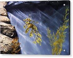 A Funny Seahorse--leafy Seadragon Acrylic Print by Angela A Stanton