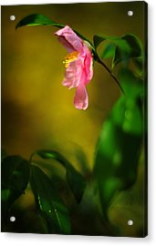 A Golden Day Portrait Of A Pink Camellia Acrylic Print by Rebecca Sherman