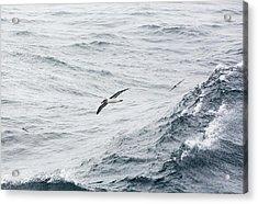 A Grey Headed Albatross Acrylic Print by Ashley Cooper