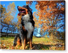 A Happy Bernese Mountain Dog Outdoors Acrylic Print by Michal Bednarek