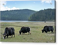 A Herd Of Yaks In Potatso National Park Acrylic Print by Tony Camacho