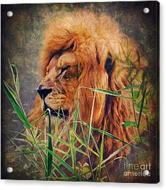 A Lion Portrait Acrylic Print by Angela Doelling AD DESIGN Photo and PhotoArt