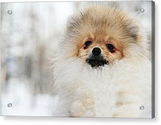 A Little Cutie Acrylic Print by Jenny Rainbow