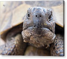 A Marginated Tortoise Acrylic Print by Ashley Cooper