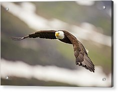 A Mature Bald Eagle In Flight Acrylic Print by Tim Grams