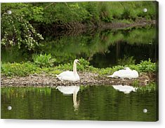 A Pair Of Mute Swans Acrylic Print by Ashley Cooper