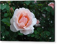 A Pink Rose For You Acrylic Print by Eva Kaufman