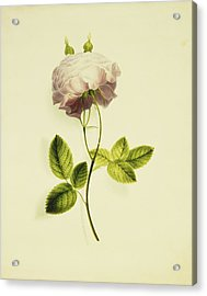 A Pink Rose Acrylic Print by James Holland