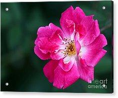 A Pretty Pink Rose Acrylic Print by Sabrina L Ryan