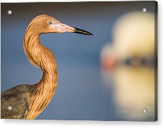 A Reddish Egret Profile Acrylic Print by Andres Leon