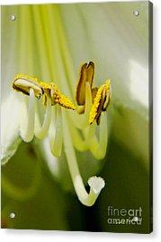 A Single Flower In Full Bloom Acrylic Print by Carol F Austin