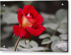 A Single Rose Acrylic Print by Yun Qing Fu