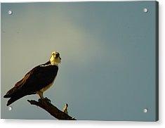 A Wide Eyed Osprey Acrylic Print by Jeff Swan