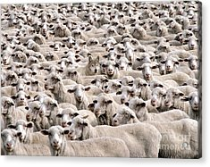 A Wolf In Sheeps Clothing Acrylic Print by Mike Agliolo