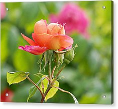 A Young Benjamin Britten Rose Acrylic Print by Rona Black