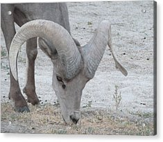 A Young Desert Bighorn Grazes On Acrylic Print by Carolina Liechtenstein