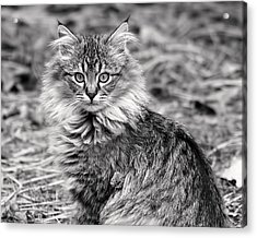 A Young Maine Coon Acrylic Print by Rona Black